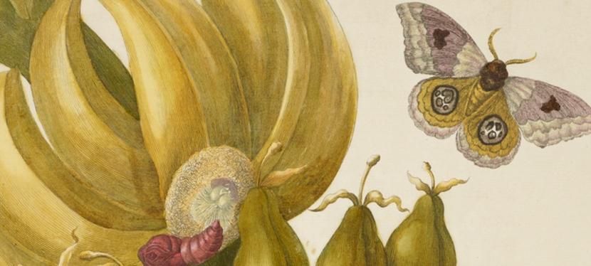 As incríveis ilustrações botânicas de Maria SibyllaMerian